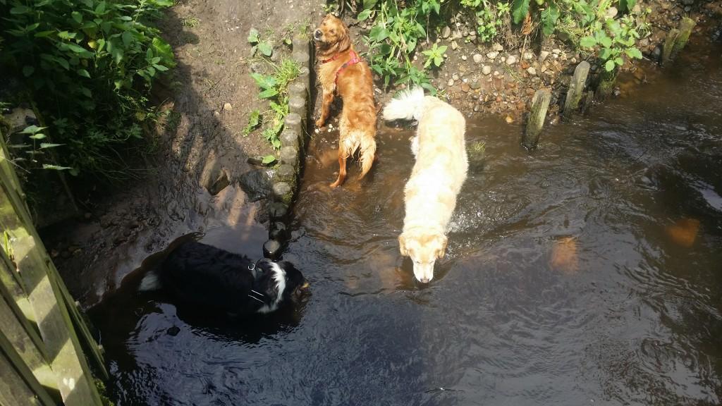 baden+junghunde